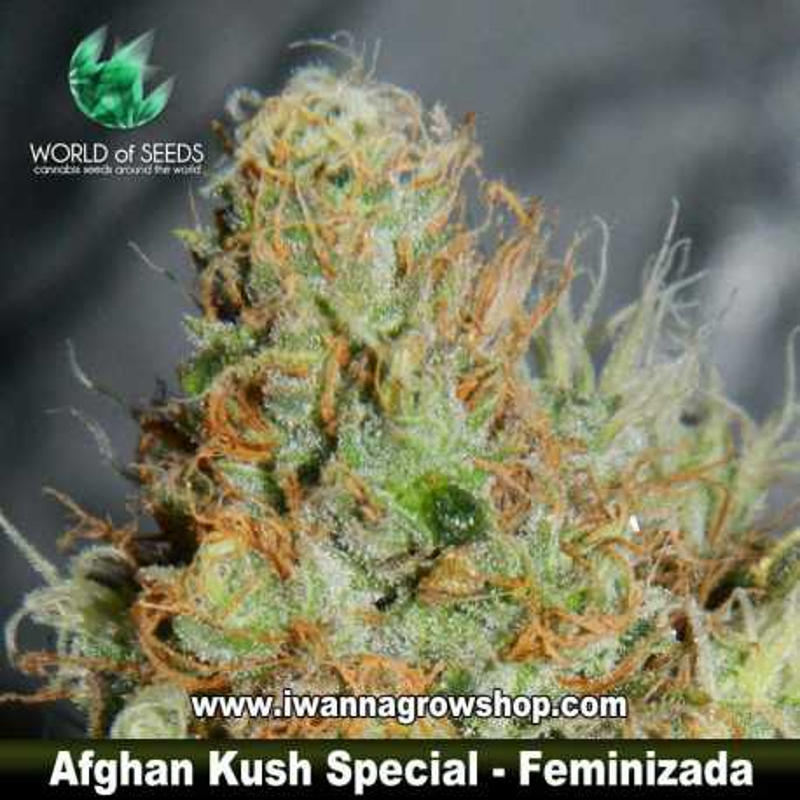 Afghan Kush Special – Feminizada