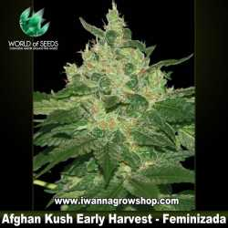 Afghan Kush Early Harvest – Feminizada