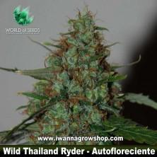 Wild Thailand Ryder – Autofloreciente