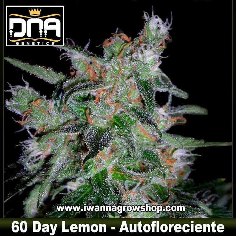 60 Day Lemon Auto – Autofloreciente