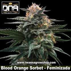 Blood Orange Sorbet – Feminizada