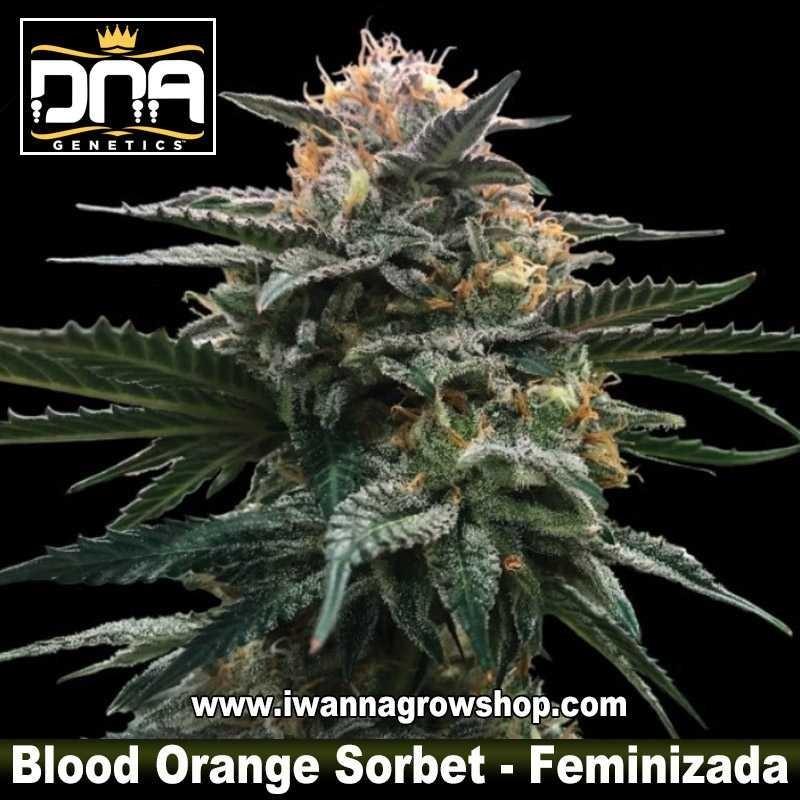 Blood Orange Sorbet – Feminizada