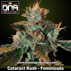 Cataract Kush – Feminizada