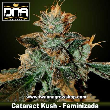 Cataract Kush