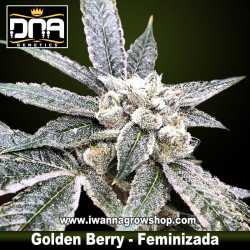 Golden Berry – Feminizada