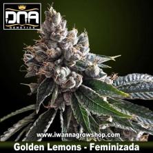Golden Lemons – Feminizada
