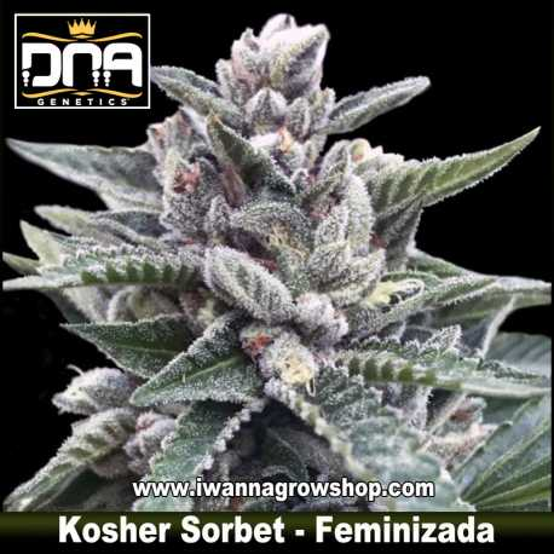 Kosher Sorbet – Feminizada