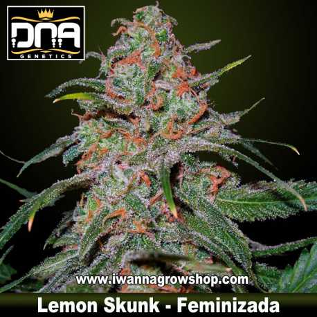 Lemon Skunk – Feminizada
