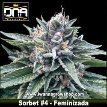 Sorbet 4 – Feminizada