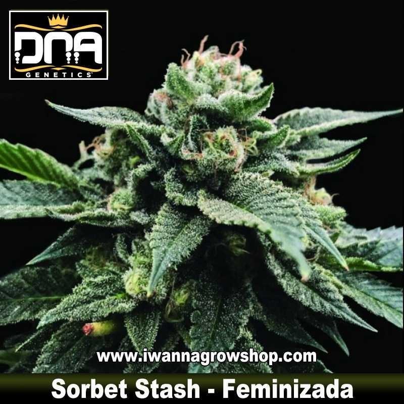 Sorbet Stash – Feminizada