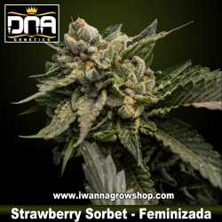 Strawberry Sorbet – Feminizada