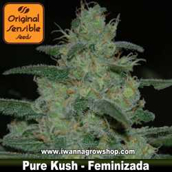 Pure Kush – Feminizada – Original Sensible
