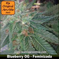 Blueberry OG – Feminizada – Original Sensible
