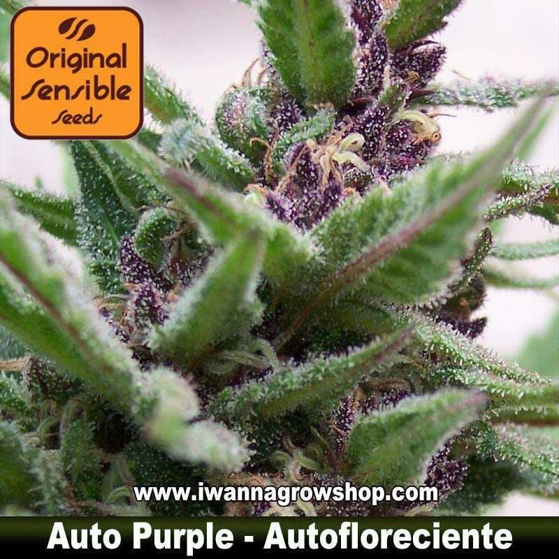 Auto Purple – Autofloreciente – Original Sensible