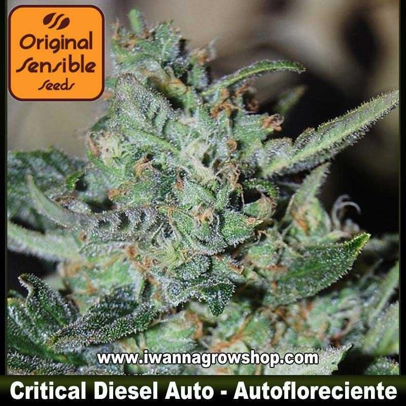 Critcal Diesel Auto – Autofloreciente – Original Sensible