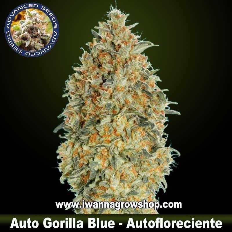 Auto Gorilla Blue – Autofloreciente