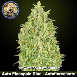 Auto Pineapple Glue – Autofloreciente