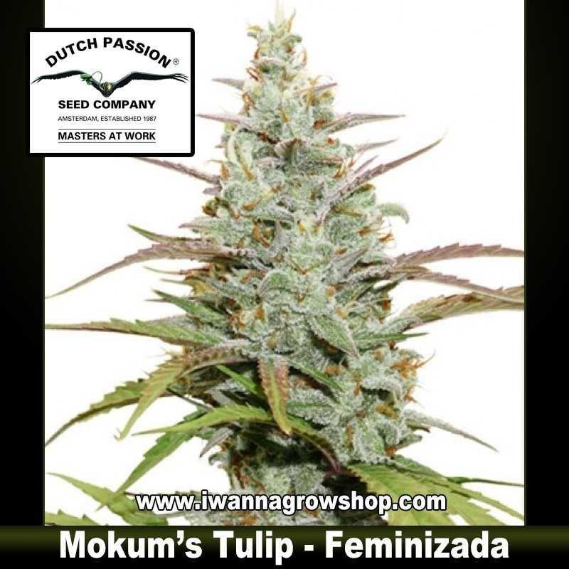 Mokum's Tuilp