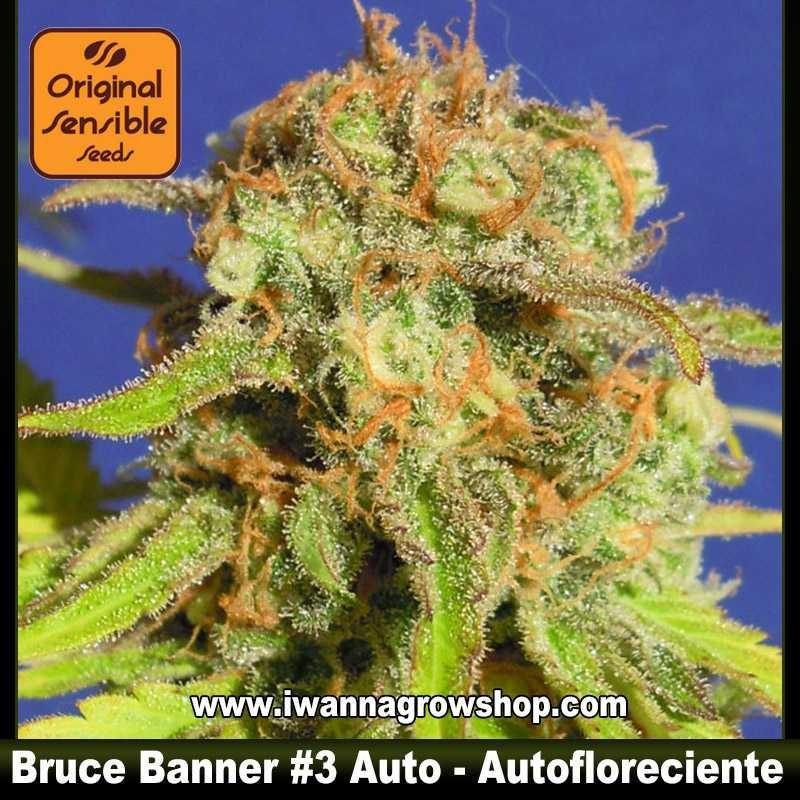Bruce Banner 3 Auto – Autofloreciente