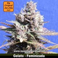 Gelato – Feminizada