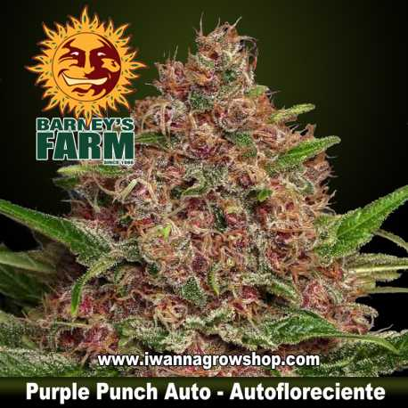 Purple Punch Auto