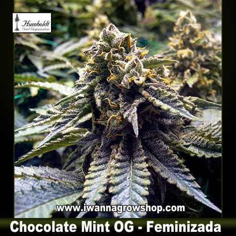 Chocolate Mint OG