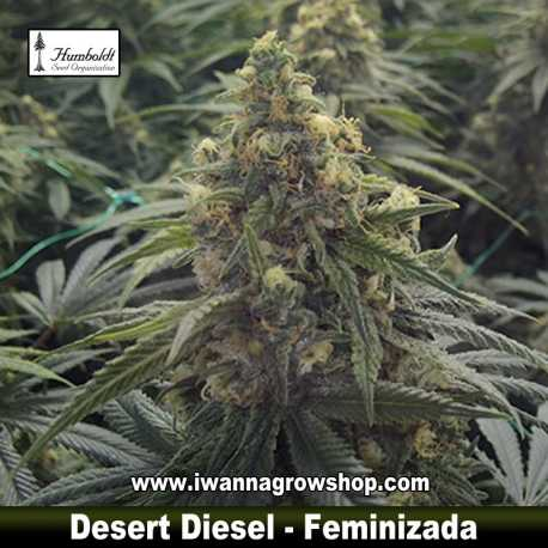 Desert Diesel