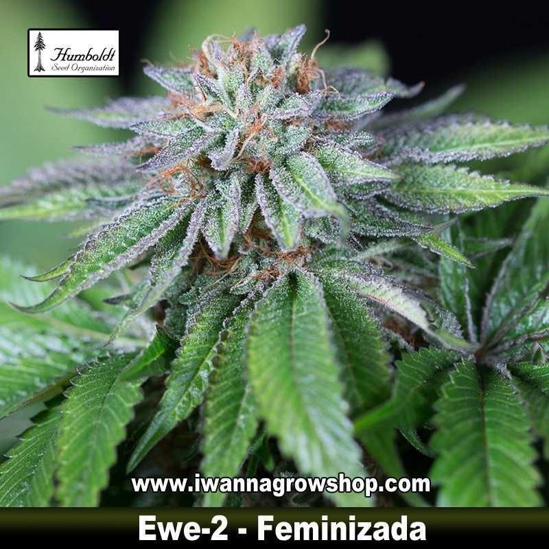 Ewe 2