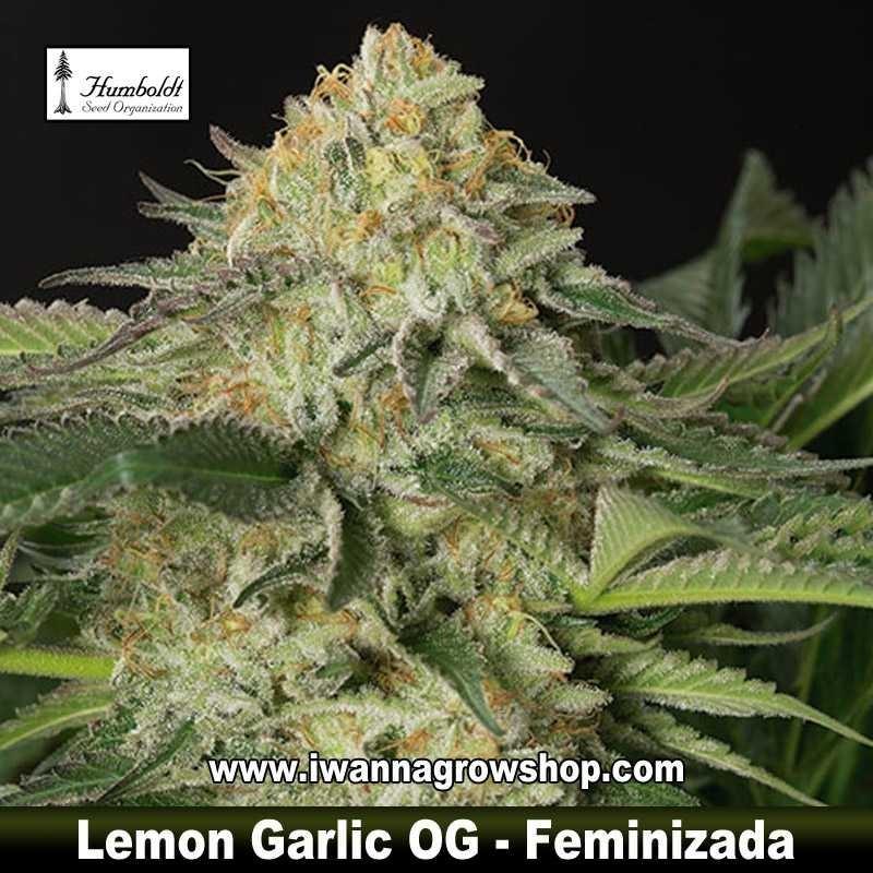 Lemon Garlic OG