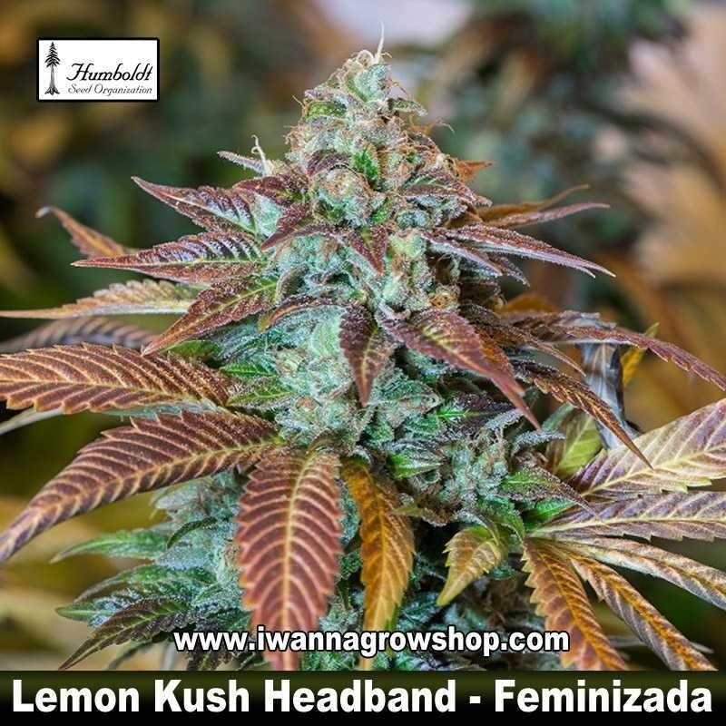 Lemon Kush Headband
