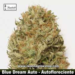 Blue Dream Auto