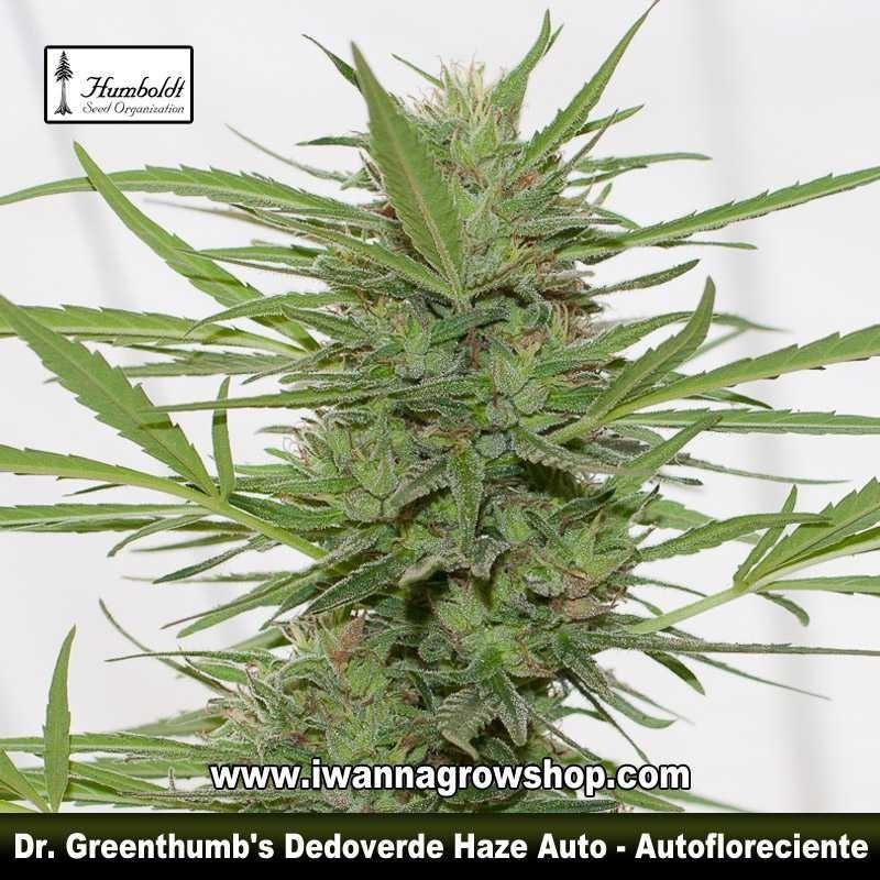 Dr. Greenthumb's Dedoverde Haze Auto