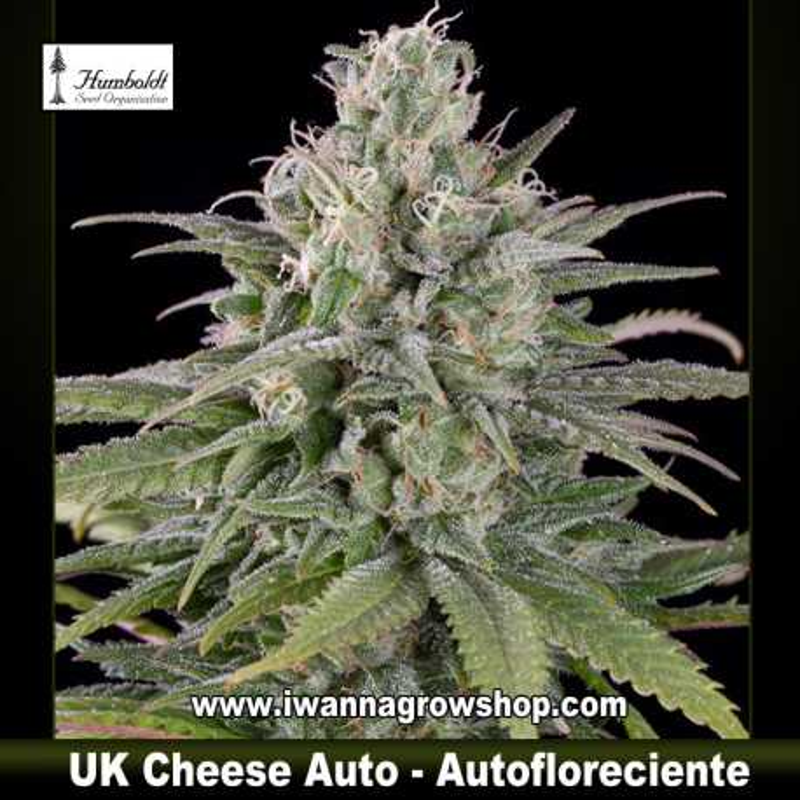 UK Cheese Auto