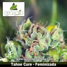 Tahoe Cure