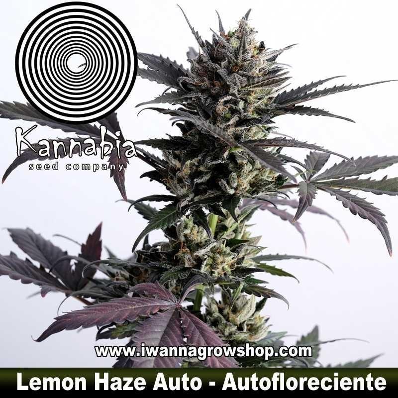 Lemon Haze Auto