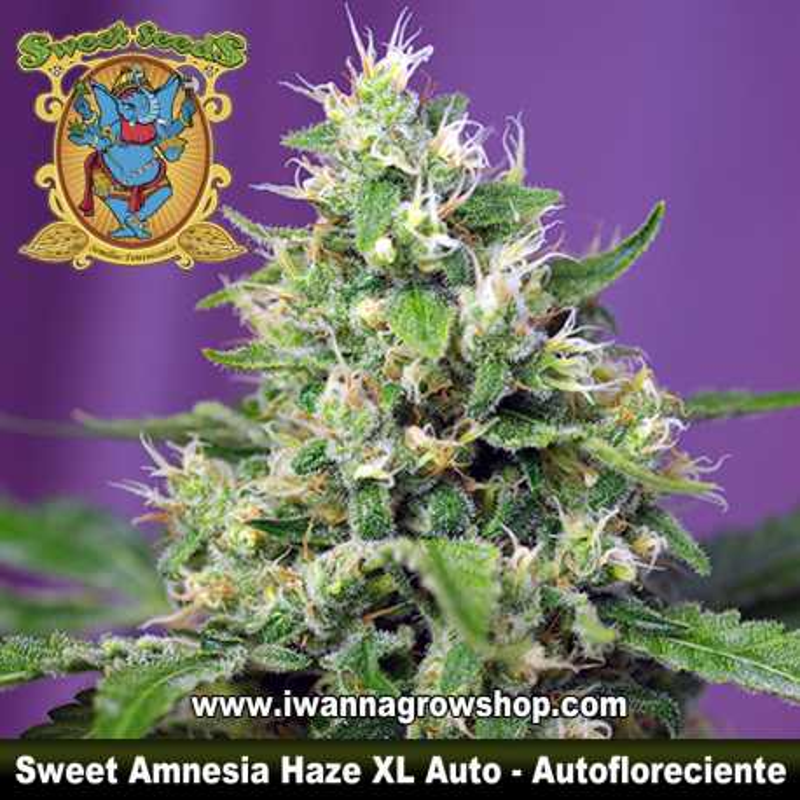 Sweet Amnesia Haze XL Auto