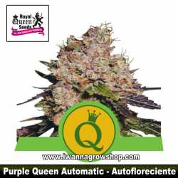 Purple Queen Auto