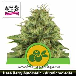 Haze Berry Auto