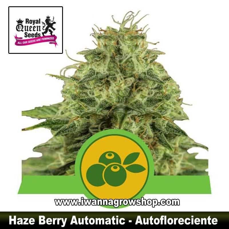 Haze Berry Auto