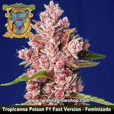 Tropicanna Poison F1 Fast Version