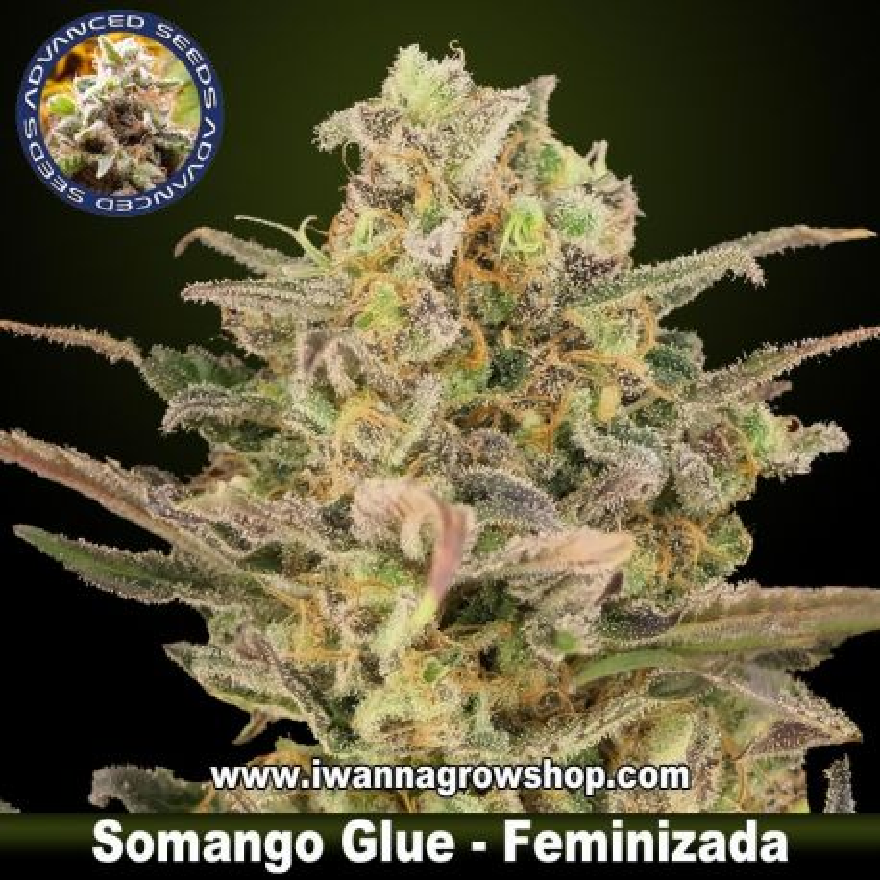 Somango Glue