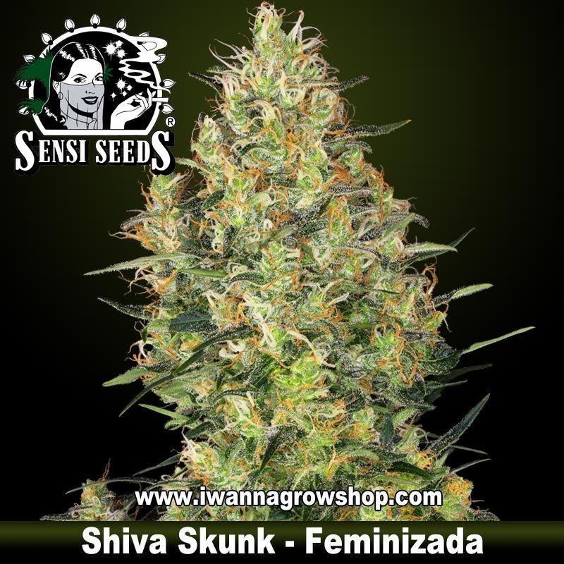 Shiva Skunk
