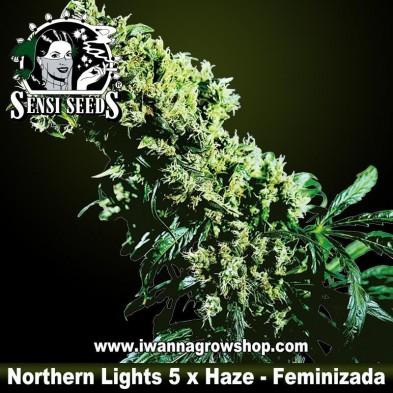 Northern Lights 5 x Haze – Feminizada