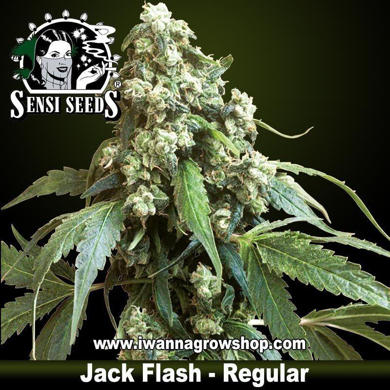 Jack Flash Regular