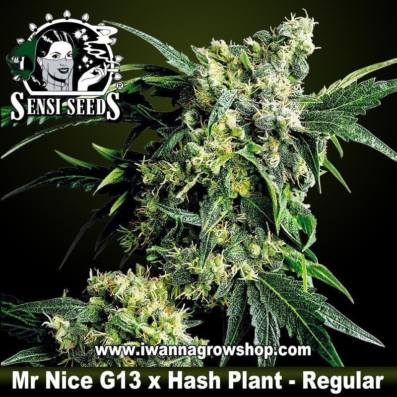 Mr. Nice G13 x Hash Plant Regular