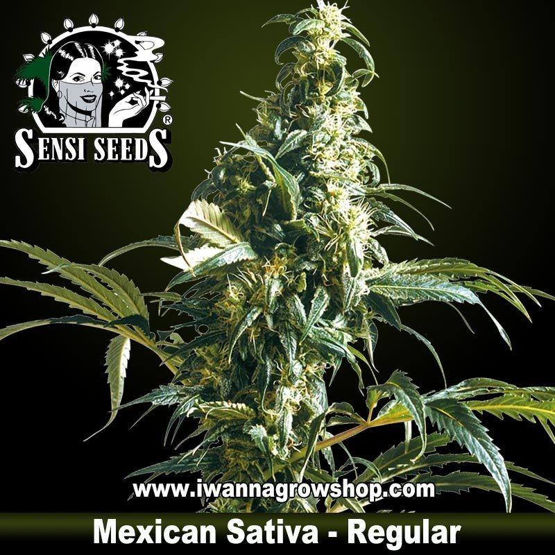 Mexican Sativa Regular