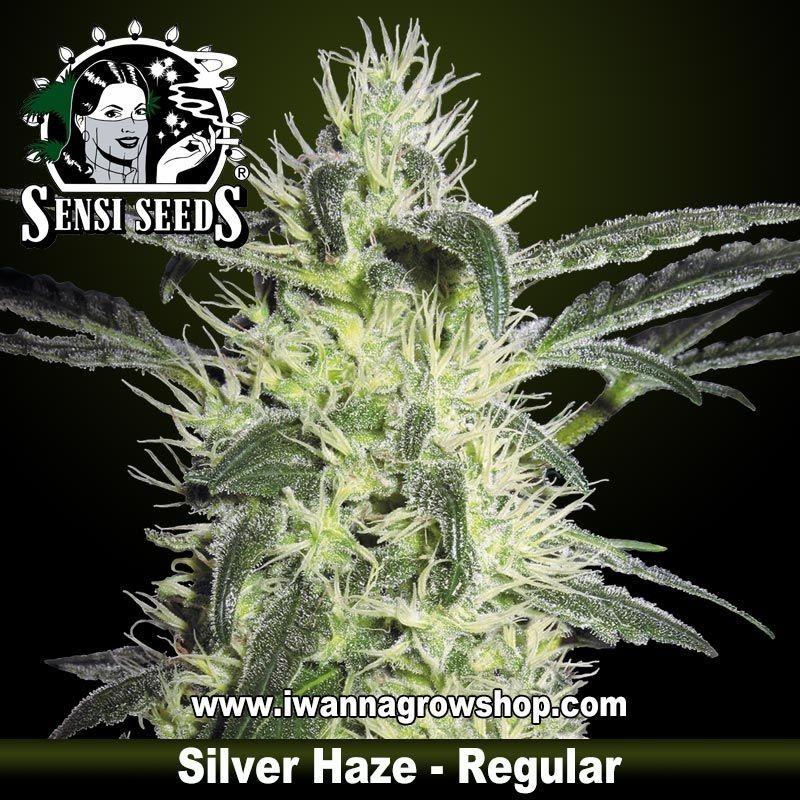Silver Haze Regular