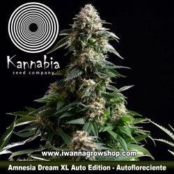 Amnesia Dream Auto XL Edition