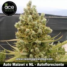Auto Malawi x NL