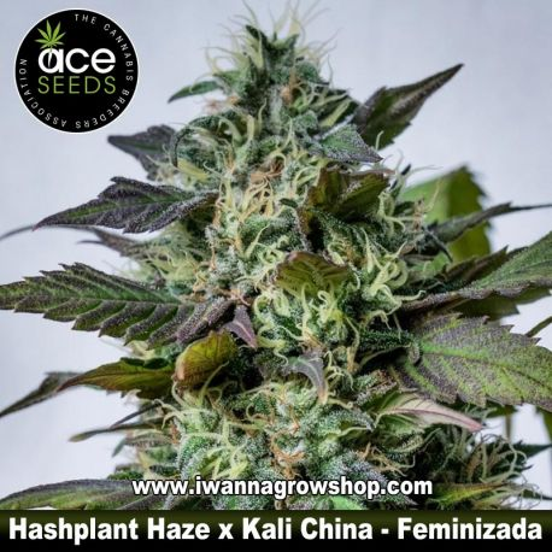 Hashplant Haze x Kali China